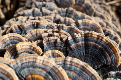 Polyporus Wildsammlung Pulver