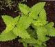 Katzenminze 'Nepeta cataria', Samen