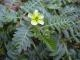 Tribulus terrestris Samen Portion