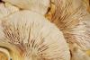 Austernseitling (Pleurotus) BIO Pulver